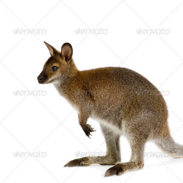 Wallaby - Stock Photo - Images