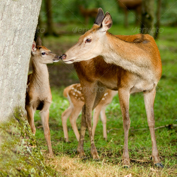 deer with her fawn - Stock Photo - Images