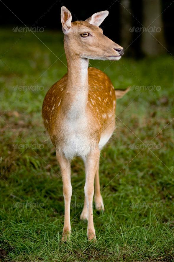 deer - Stock Photo - Images