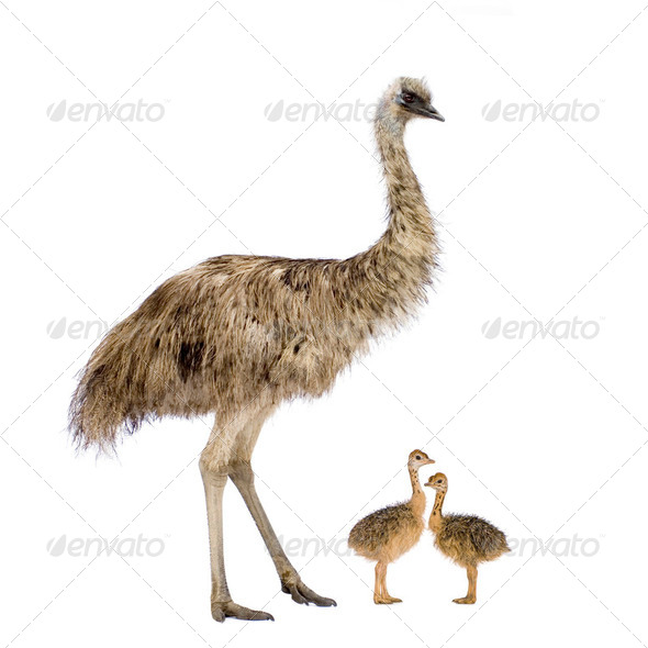 Emu and her chicks - Stock Photo - Images