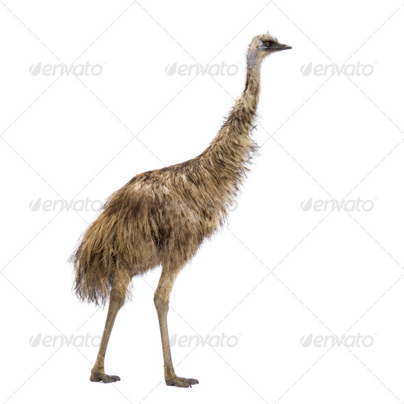 Emu - Stock Photo - Images