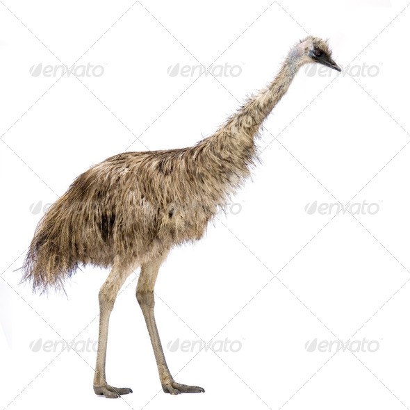 Emu - Stock Photo - Images