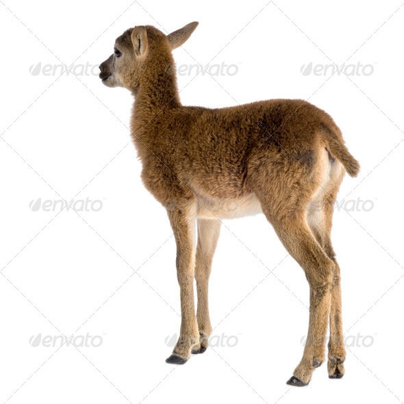 Mountain sheep of the alps - Stock Photo - Images