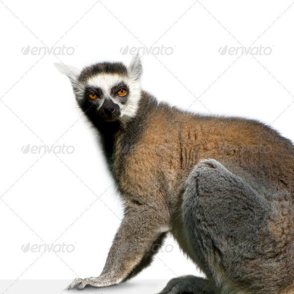 Lemur - Stock Photo - Images