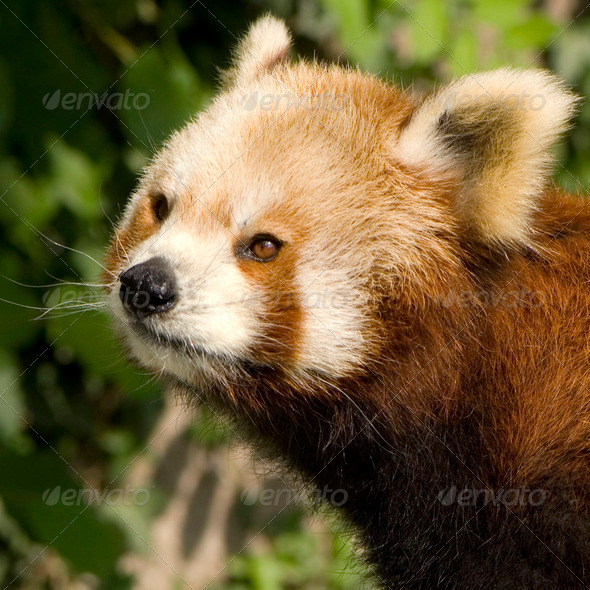 Red Panda - Ailurus fulgens - Stock Photo - Images
