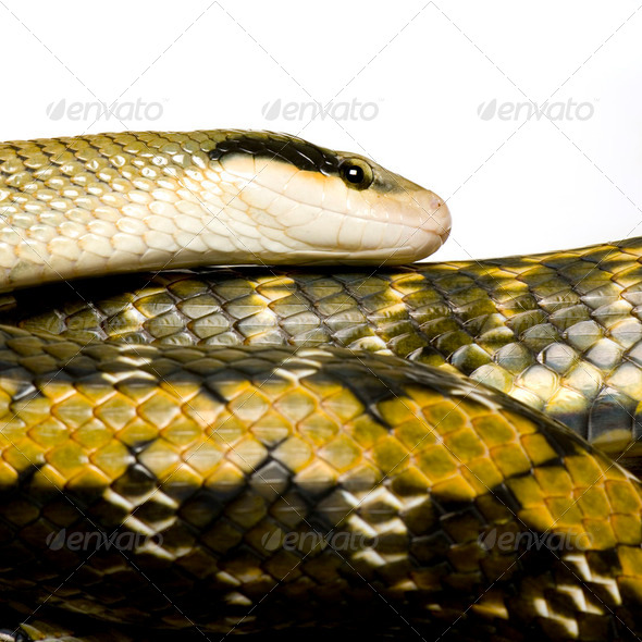 Rat snake - Stock Photo - Images