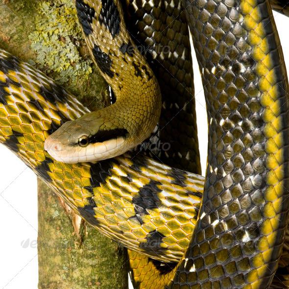 Rat snake - Stock Photo - Images
