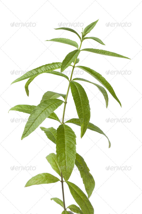 Twig of verveine - Stock Photo - Images