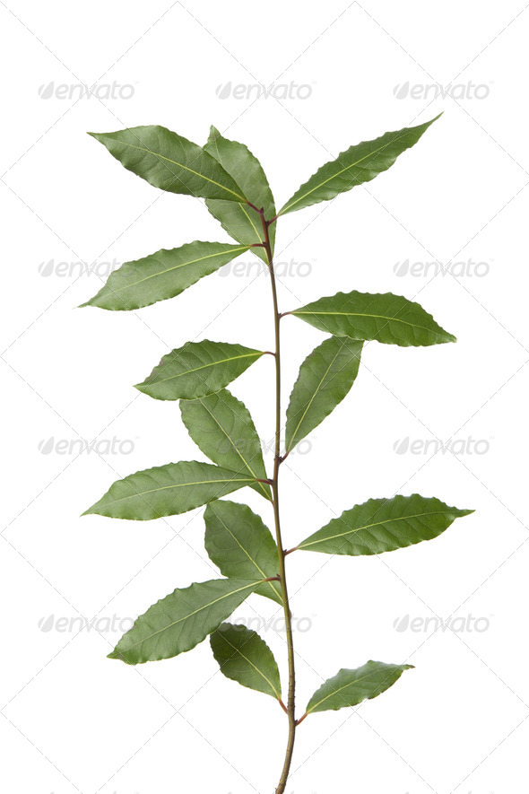 Branch of fresh bay leaves - Stock Photo - Images