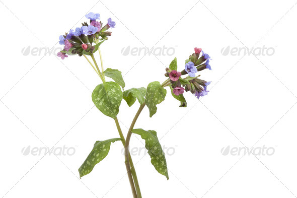 Flowering Lungwort - Stock Photo - Images