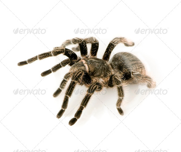 Zebra tarantula or Aphonopelma seemanni - Stock Photo - Images