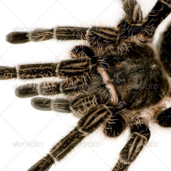 Zebra tarantula or Aphonopelma seemanni - Stock Photo - Images