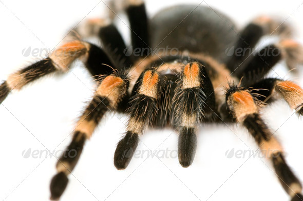 Brachypelma smithi - Stock Photo - Images