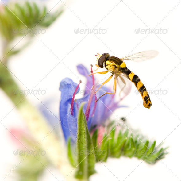 Hoverflies - Stock Photo - Images