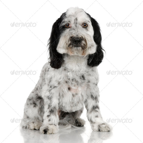 Tibetan Terrier - Stock Photo - Images