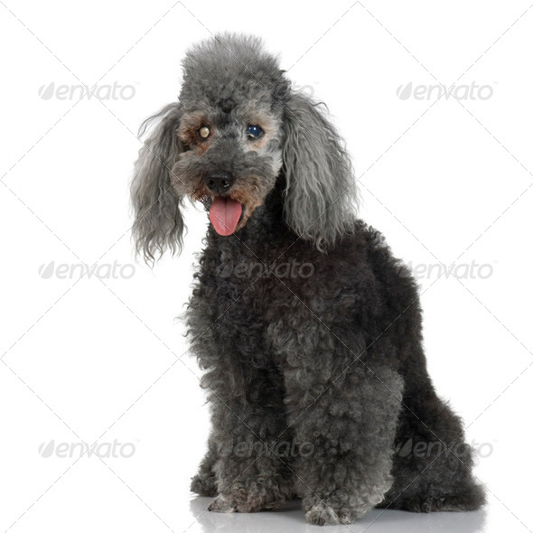 Blind Very old poodle (15 years) - Stock Photo - Images
