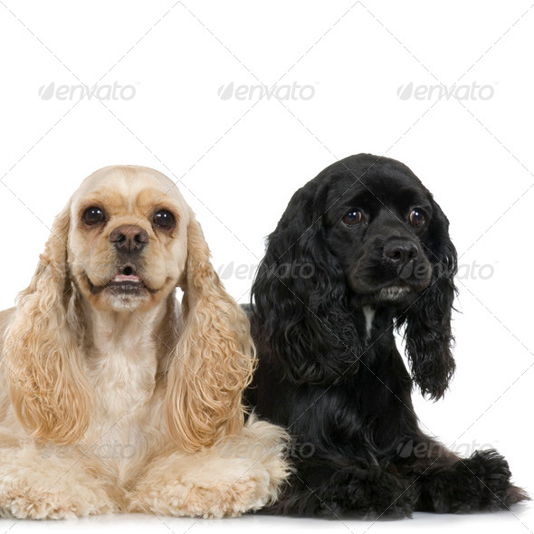 couple of Cocker Spaniel - Stock Photo - Images