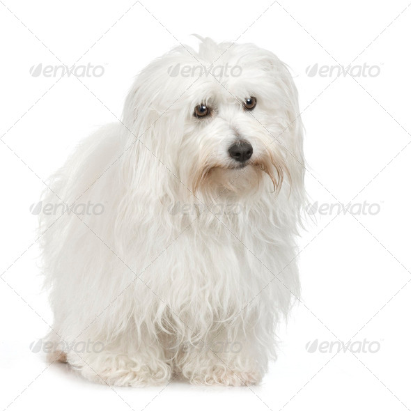 Coton de Tulear (5 years) - Stock Photo - Images