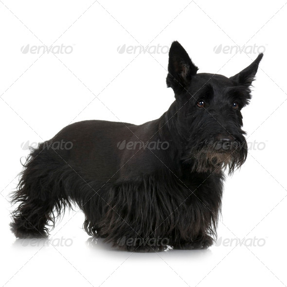 Scottish Terrier - Stock Photo - Images