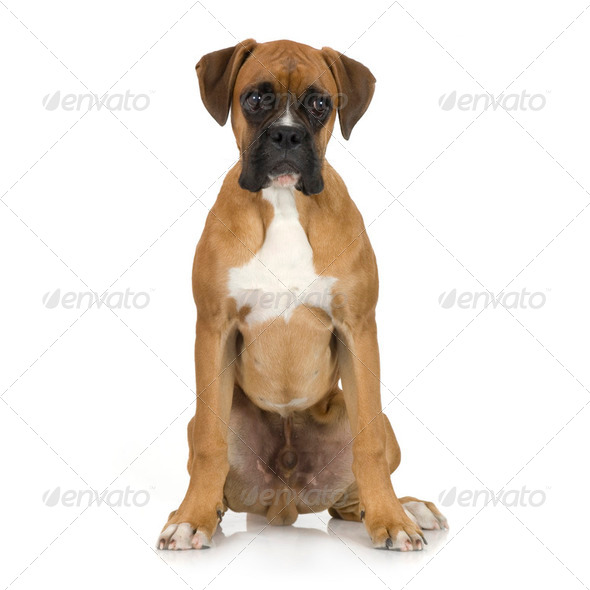 puppy Boxer (5 months) - Stock Photo - Images