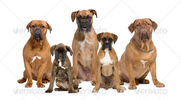 Portrait of boxer dogs sitting in front of white background, studio shot - Stock Photo - Images