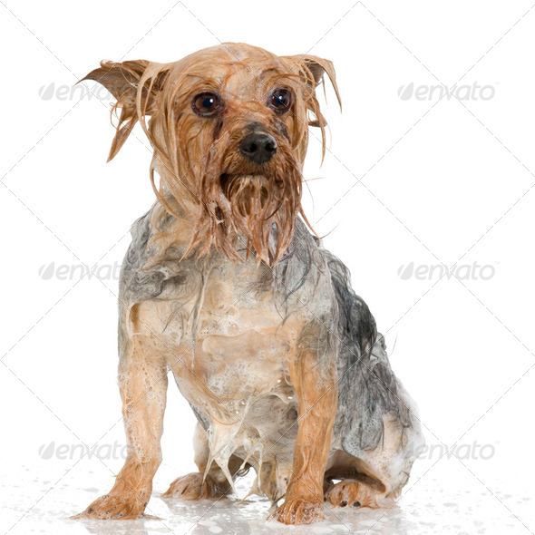 shampoo dog - Stock Photo - Images