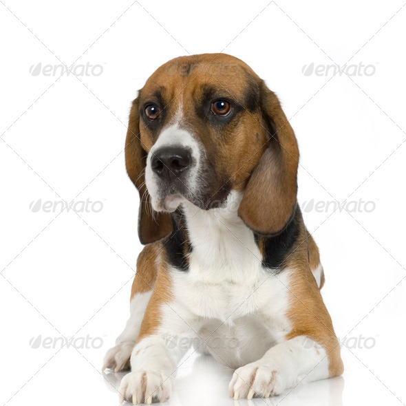 Beagle (2 years) - Stock Photo - Images