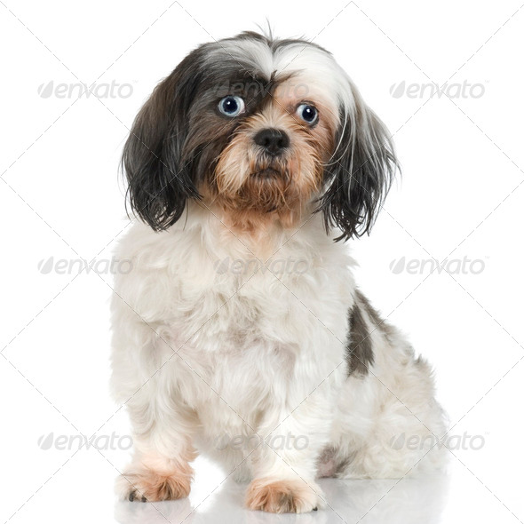 Shih Tzu (9years) - Stock Photo - Images