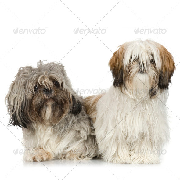couple of Shih Tzu - Stock Photo - Images