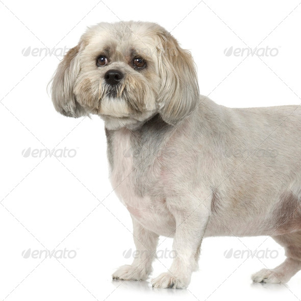 Lhasa Apso (7 years) - Stock Photo - Images