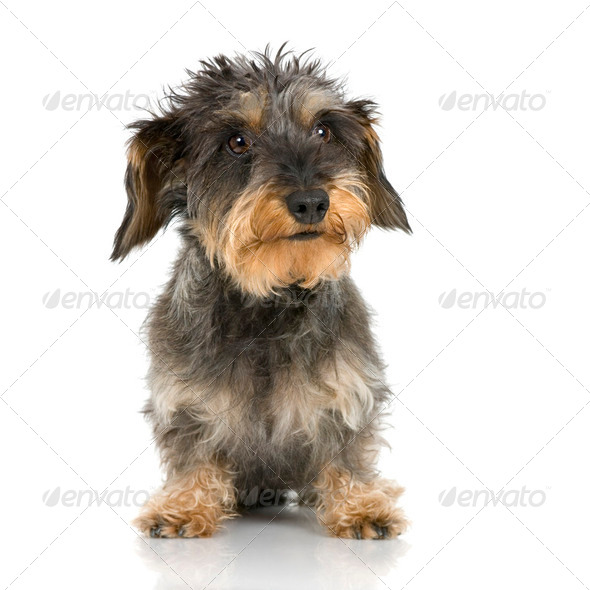 Coarse haired Dachshund (3 years) - Stock Photo - Images