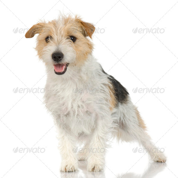 Jack russell long haired - Stock Photo - Images