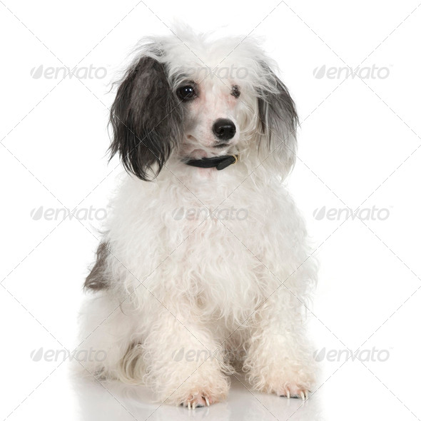 Chinese Crested Dog - Powderpuff - Stock Photo - Images