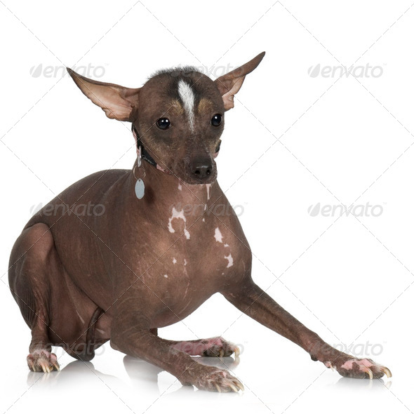 Peruvian Hairless Dog - Stock Photo - Images