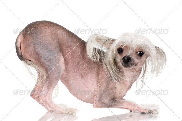 Chinese Crested Dog - Hairless - Stock Photo - Images