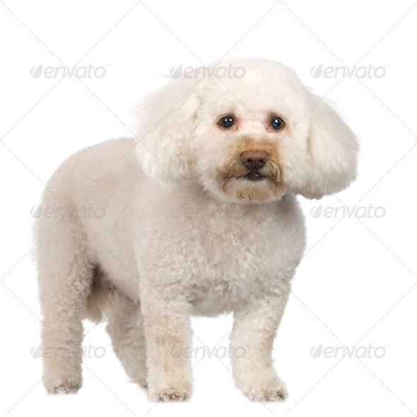 Poodle (11 years) - Stock Photo - Images