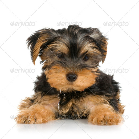 puppy Yorkshire Terrier (2 months) - Stock Photo - Images