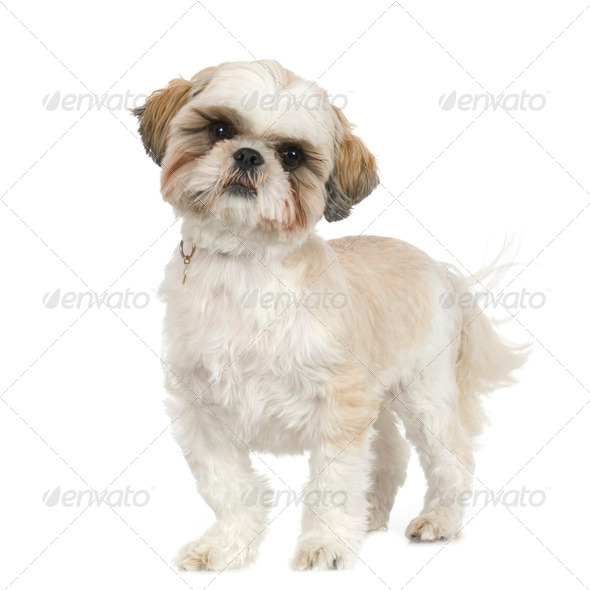 Shih Tzu (2 years) - Stock Photo - Images