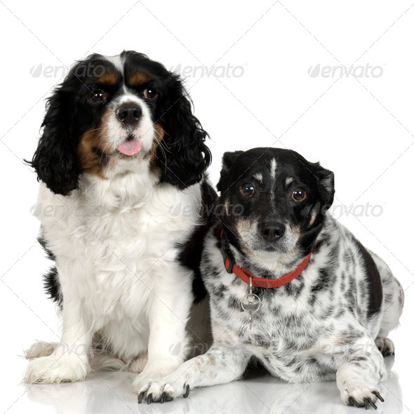 Bastard and Cavalier King Charles Spaniel - Stock Photo - Images
