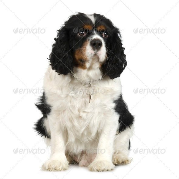 Cavalier King Charles Spaniel (2 years) - Stock Photo - Images