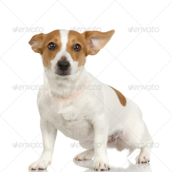 Jack russel (3 years) - Stock Photo - Images