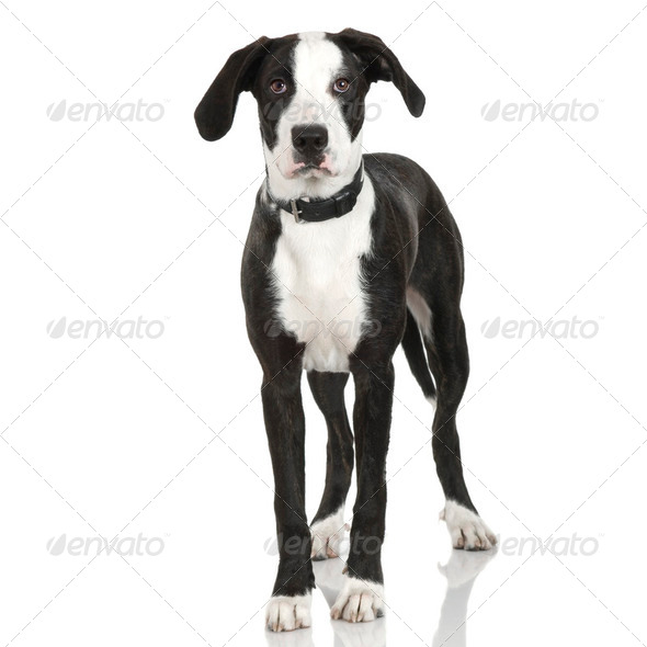 puppy American Staffordshire terrier crossed with a bernese moutain dog (7 months) - Stock Photo - Images
