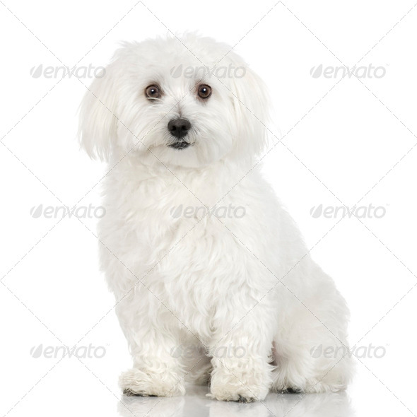 maltese dog (16 months) - Stock Photo - Images