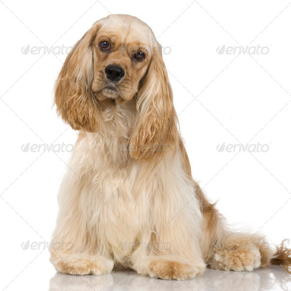 American Cocker Spaniel (1 year) - Stock Photo - Images