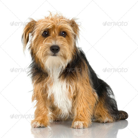 young Yorkshire Terrier ( 9 months) - Stock Photo - Images