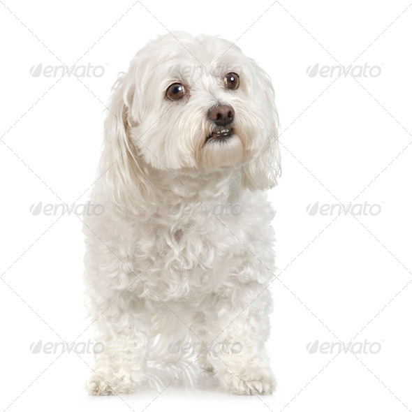 maltese dog (9 years) - Stock Photo - Images