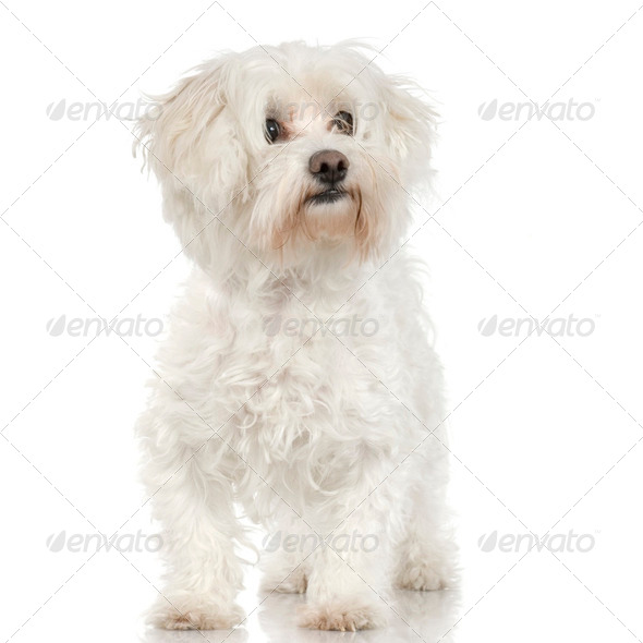 maltese dog (4years) - Stock Photo - Images
