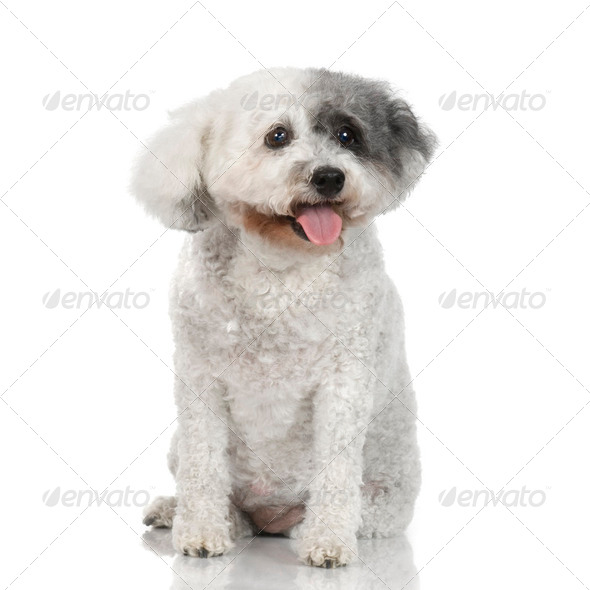 old Poodle (13 years) - Stock Photo - Images