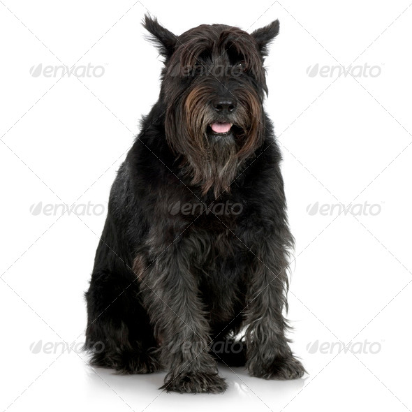Old Giant Schnauzer (7years) - Stock Photo - Images