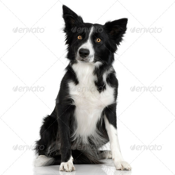 Border Collie (1 years) - Stock Photo - Images